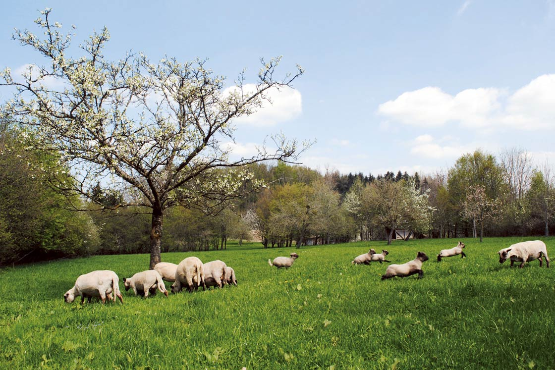 Herrmannsdorfer Partnerbauern Schafe