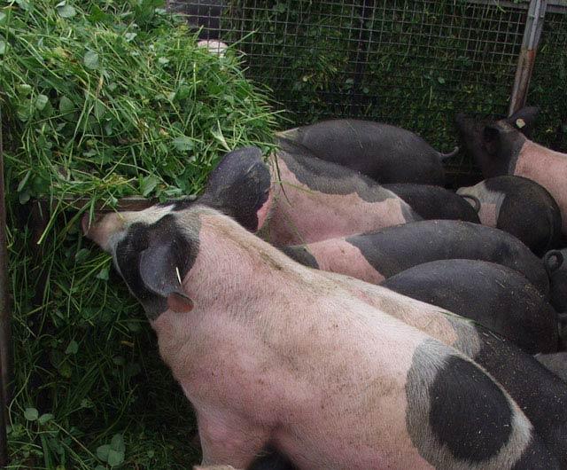 Herrmannsdorfer Schweine - Kleefütterung