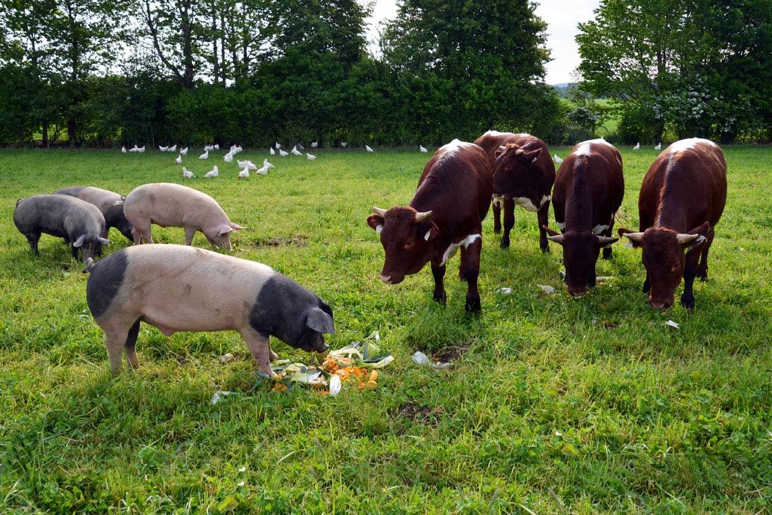 Herrmannsdorfer Weideschweine und Symbiotische Landwirtschaft