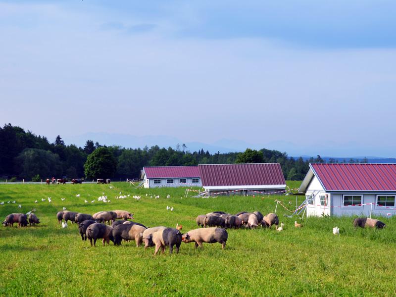 Herrmannsdorfer Wiedeschweine
