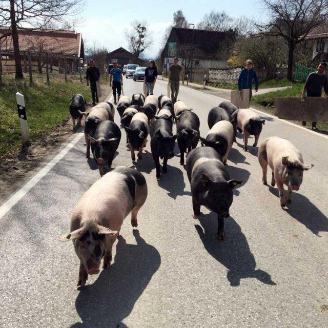 Schweineaustrieb in Herrmannsdorf