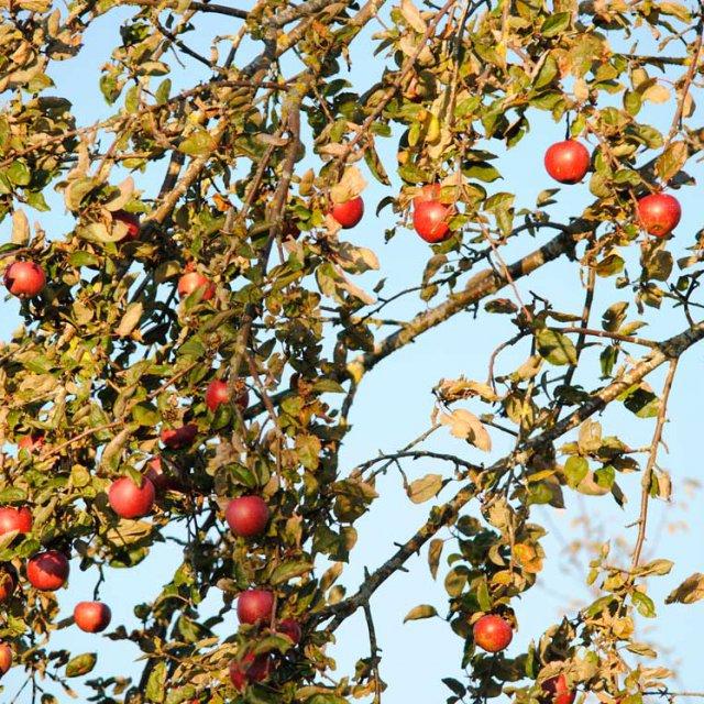 Herrmannsdorfer Apfelbaum
