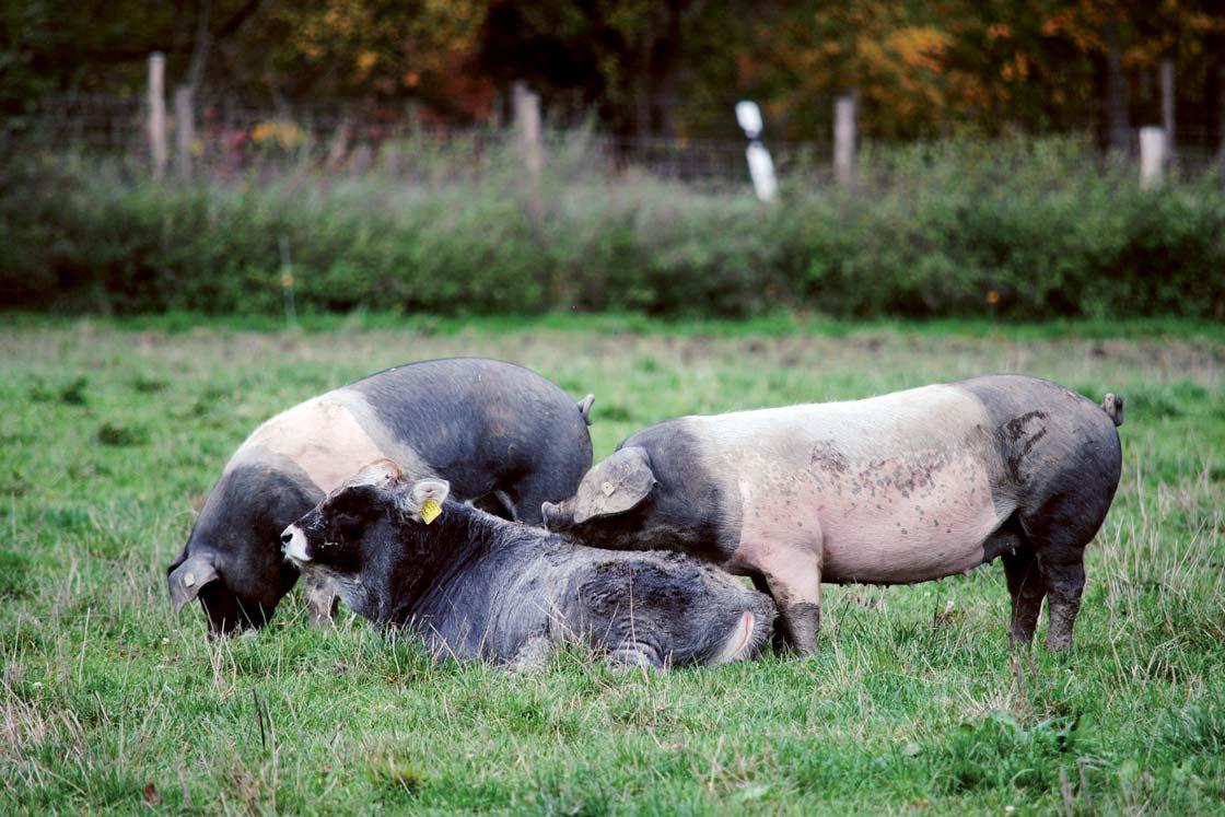 Murmel mit den Schweine-Kumpels