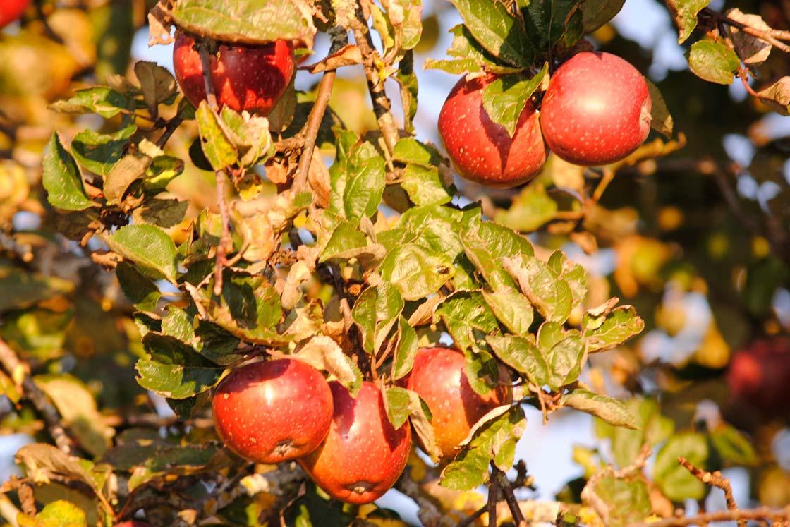 Herrmannsdorfer Äpfel