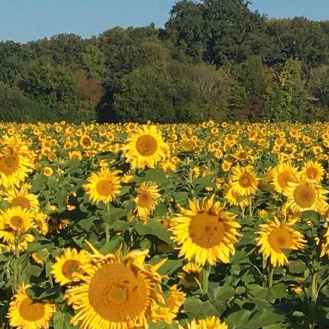 Sonnenblumen in Herrmannsdorf