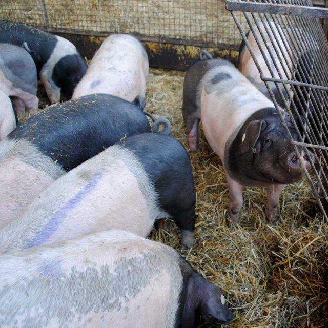 Hermannsdorfer Schweine, Pünktchen