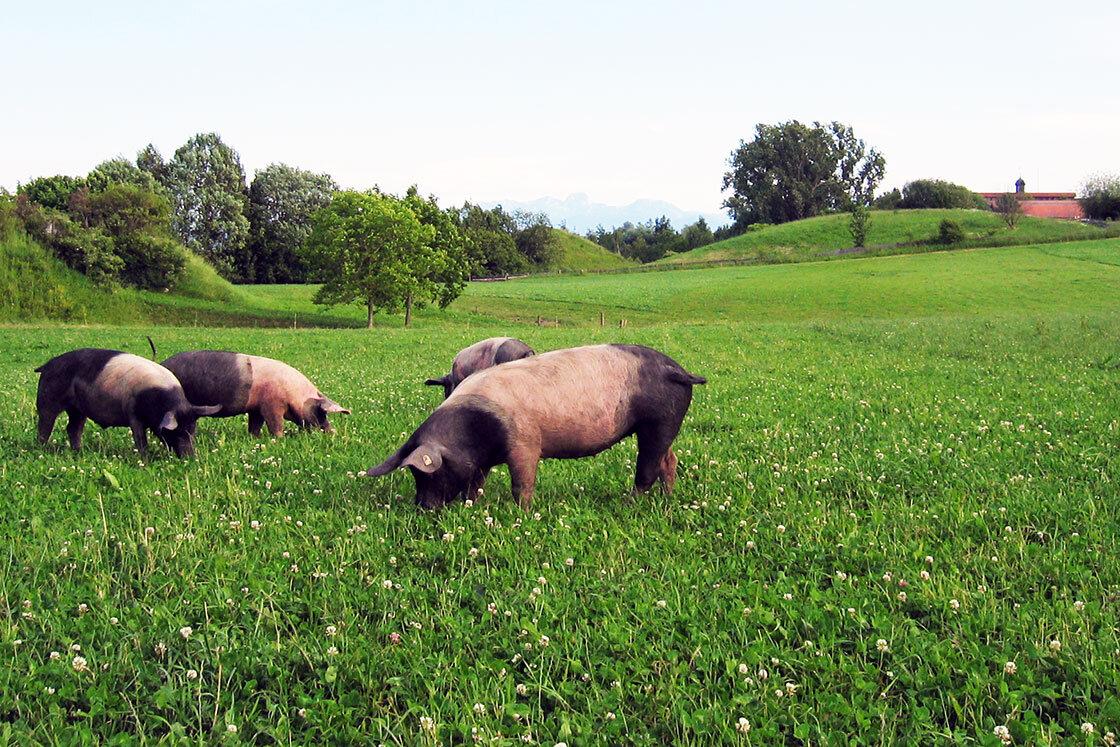 Herrmannsdorfer Schweinehaltung